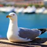 Seagull in the Port Hercule of Monaco